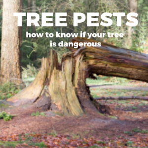 Tree Pests and How To Know If A Tree Is Dangerous In Your Backyard