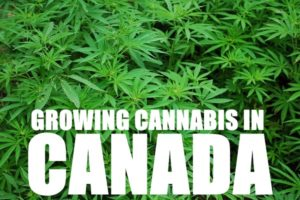 Growing Cannabis In Canada