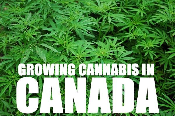 Growing Cannabis In Canada