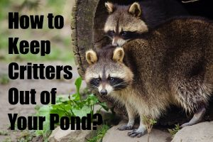 Raccoons and Birds out of Your Pond