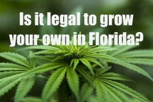 Cannabis Plant in Florida